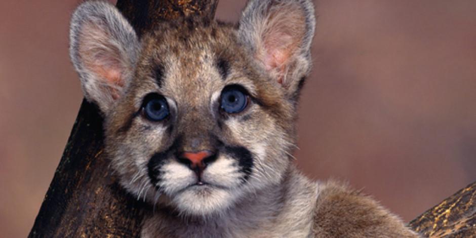 Mountain Lion'ın Kullanım Oranı %10'a Ulaştı