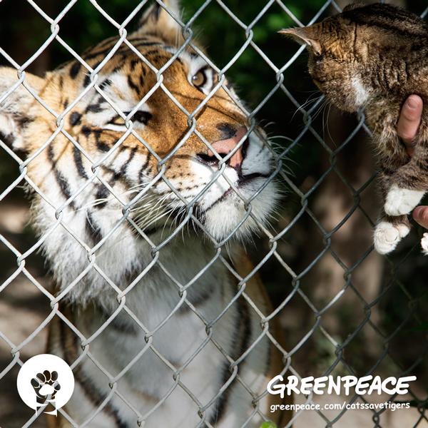 cats-save-tiger