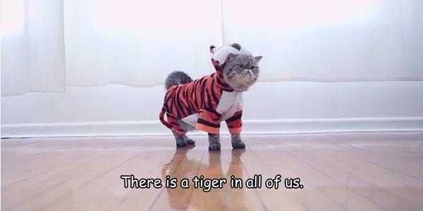 İnternetin ünlü kedileri ataları kaplanların neslini koruyor: #CatsSaveTigers