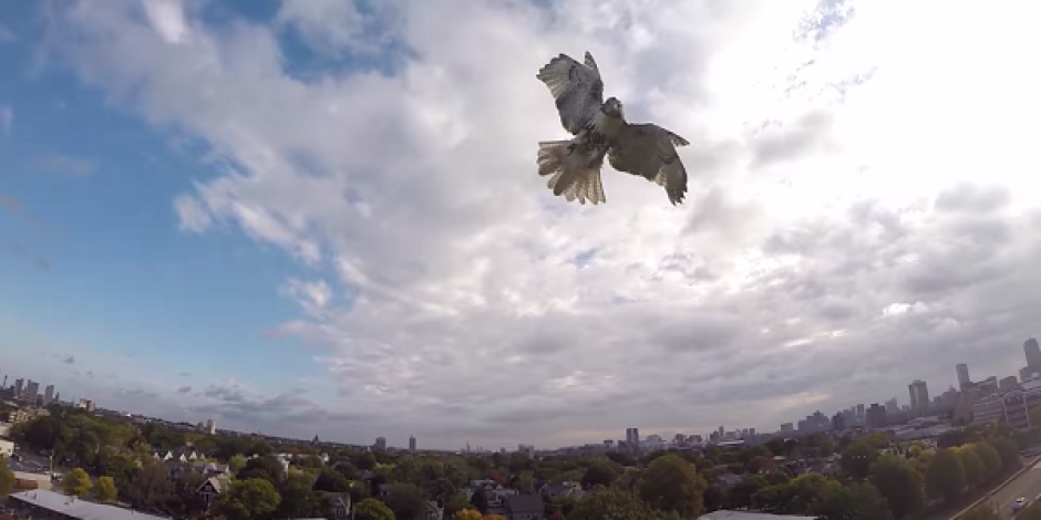 Drone ile şahin karşılaşırsa [video]