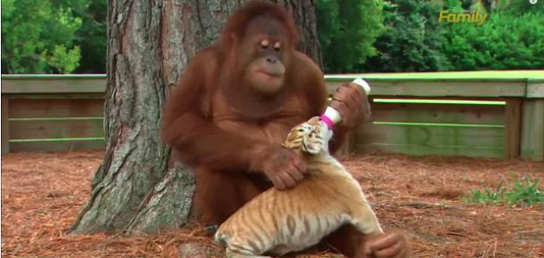 Sosyal medyanın en çok izlenilenlerinden: Orangutan babanın kaplan çocuklarına karşı şefkati