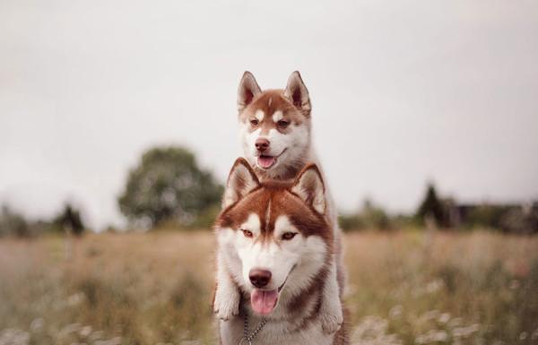 siberian-husky-dog-instagram-erica-tcogoeva-20
