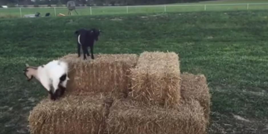Ne yediğinden şüphe duyduğumuz aşırı hareketli keçi