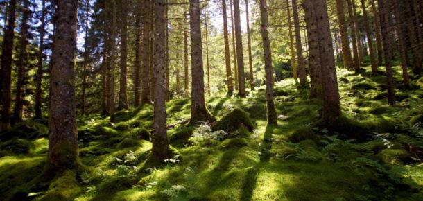 Artık Norveç'te ağaç kesilmeyecek