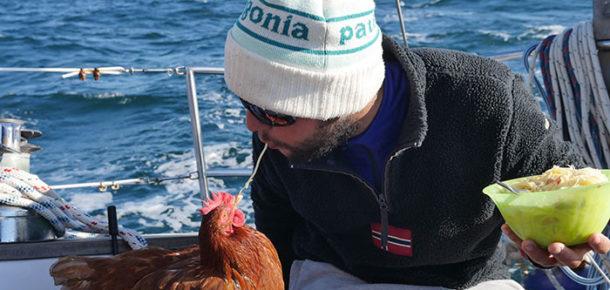 Dünyayı gezen tavukla tanışın